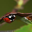Seven-spot Ladybird on Green by kernuak