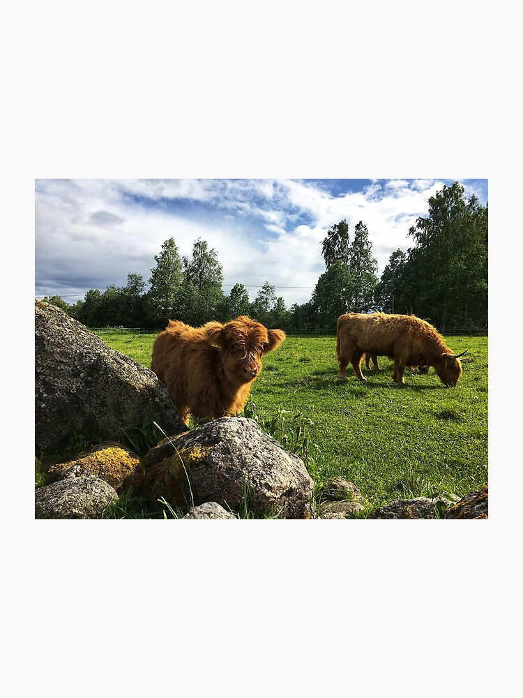 Scottish Highland Cattle Calf And Cow 1769 Photographic Print