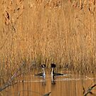 Great Crested Grebe Courtship Evening Light by kernuak