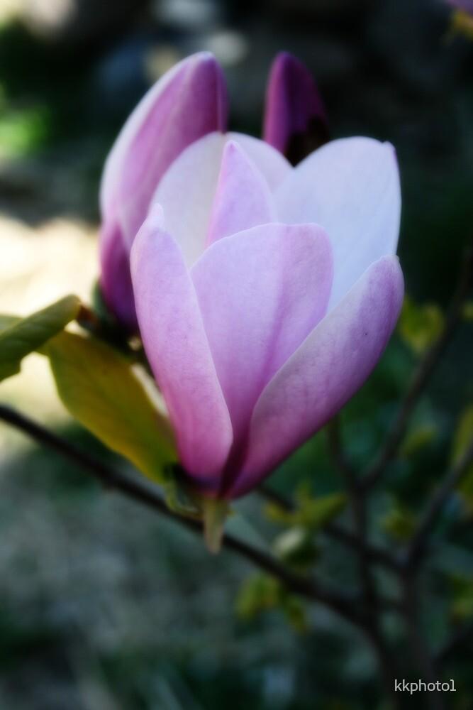Magnolia Bloom Opening by kkphoto1