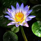 The Water Lily by RickDavis
