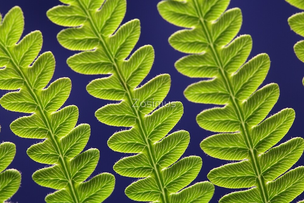 Macro photo of a bracken fern leaf (Pteridium aquilinum) by Zosimus