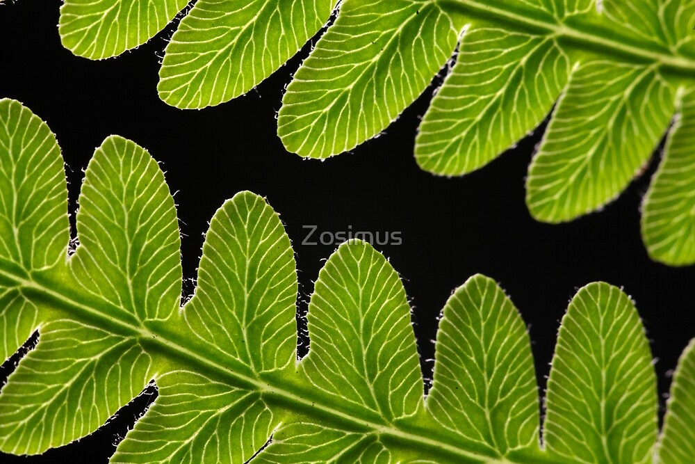 Macro photo of a bracken fern leaf  by Zosimus