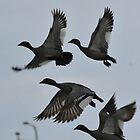 Flight of the Australian Wood Duck by stevealder