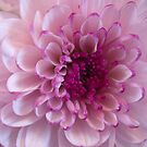 Perfect pink by Steve plowman