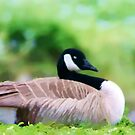 Canadian Goose Resting by photosbypamela