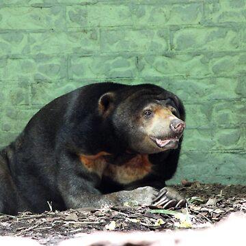 Asian Sun Bear -  Alma Park Zoo, Brisbane by LeesaH