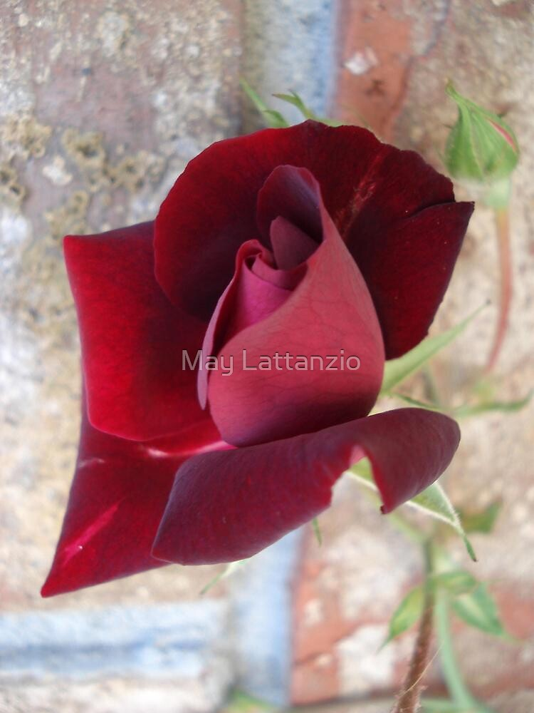 Ed's Rose by May Lattanzio