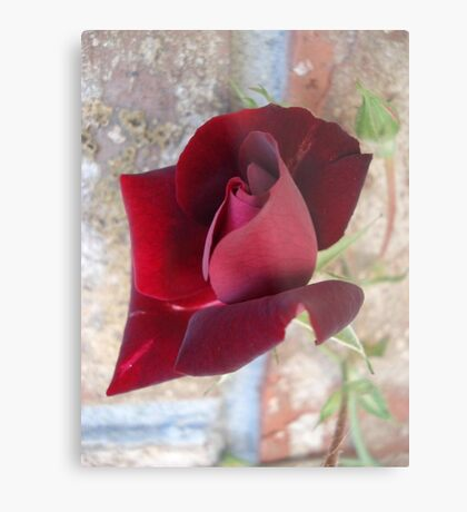 Ed's Rose Metal Print