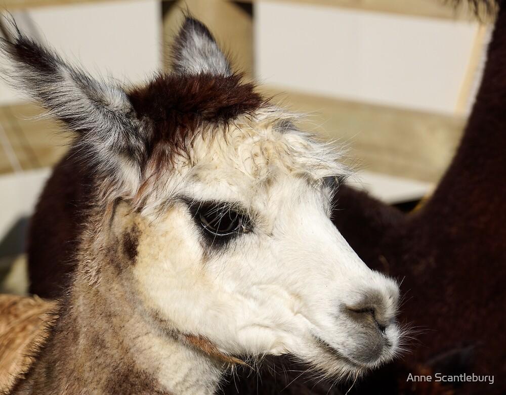 alpaca by Anne Scantlebury