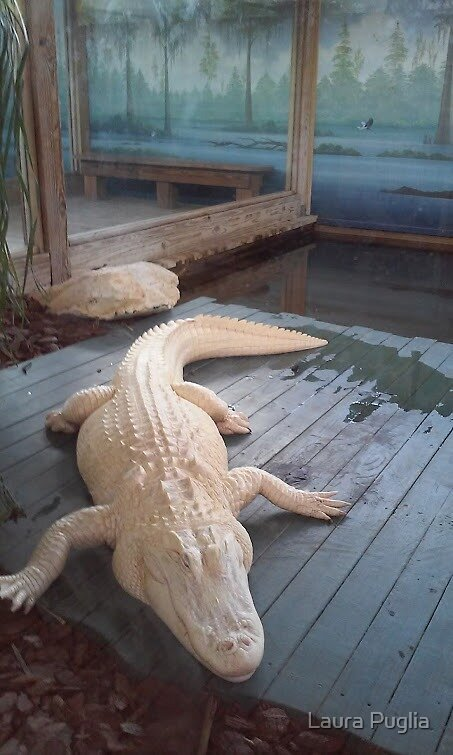 White Gator by Laura Puglia
