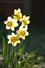 Sunny Daffodils by John Keates
