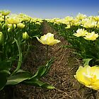 Tulips - One Step Out  by ienemien