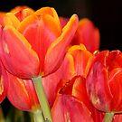 Tulip flames by Gili Orr