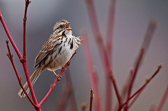 Song Sparrow on Dogwood - Ottawa, Ontario by Michael Cummings