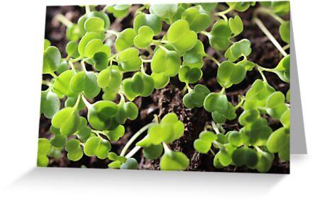 Microgreens seeds botanical by chihuahuashower