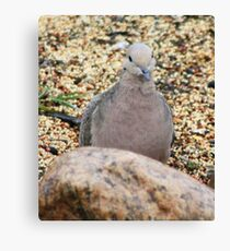 looking dove Canvas Print