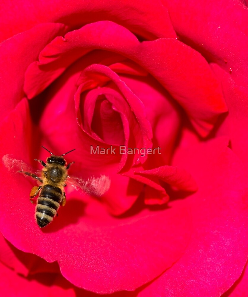Bee approaching a red rose by Mark Bangert