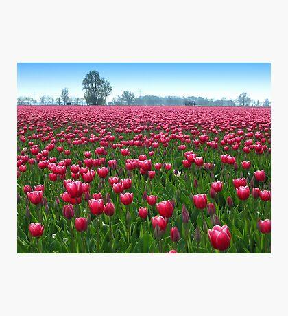 Beautiful Tulipfield Photographic Print