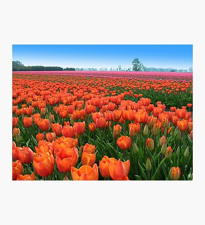 Tulipfields in Orange Photographic Print
