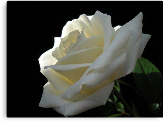 Single white rose by vitta