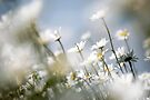 Wild Summer Daisies by friendlydragon