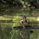 Male Wood Duck by Dave & Trena Puckett