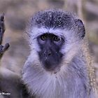 HEY, HÖR AUF !!! - Vervet Monkey, (CERCOPITHECUS PYGERYTHRUS) von Magriet Meintjes