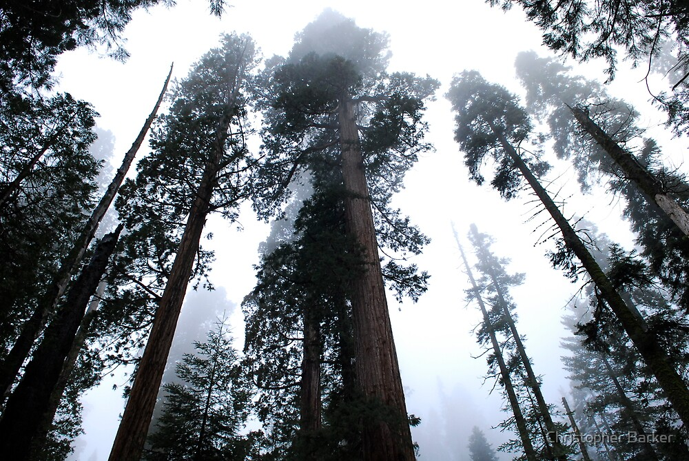 Sequoia II by Christopher Barker