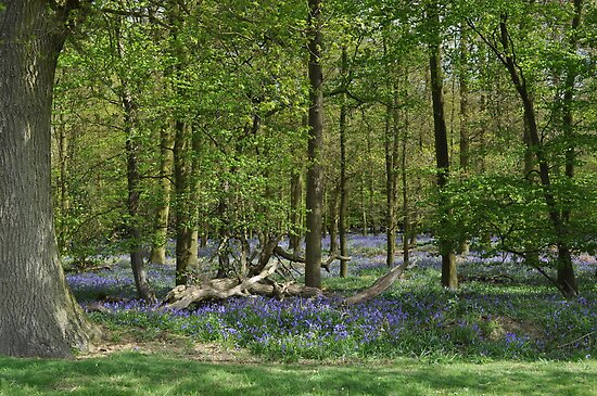 Bluebell Woodland ~ Whempstead, Hertfordshire 2010 by Samantha Creary
