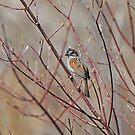 Marsh Wren - Eastern by Lynda   McDonald