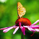 Fritillary on Echinacea by Anne Smyth