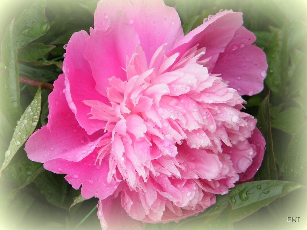 Pink Camelia 2 by ElsT