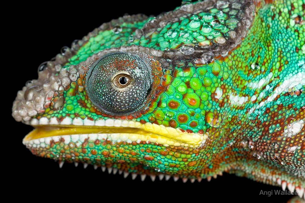 Panther chameleon by Angi Wallace