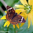 Buckeye Butterfly by GraceNotes