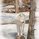 Arctic wolf -Parc Omega, Montebello, PQ by Tracey  Dryka