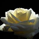 Brilliant Rose. by Vitta
