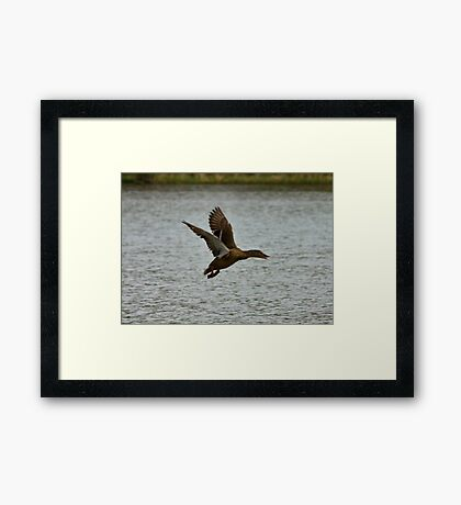 Flying Mallard Framed Print