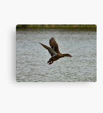 Flying Mallard Canvas Print