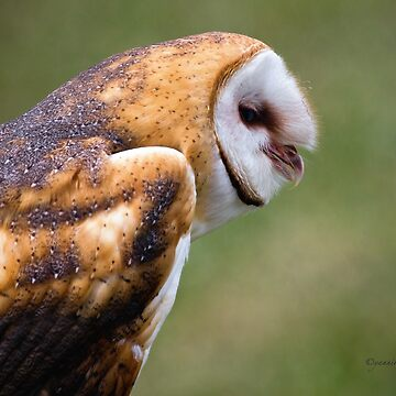Barn Owl by Photograph2u