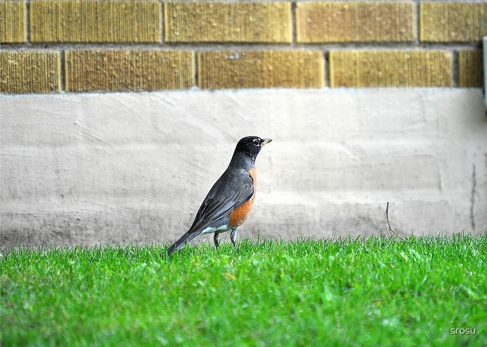 Robin Hunting by srosu