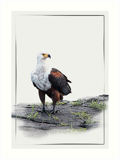 African Fish Eagle on white background by RonelBroderick