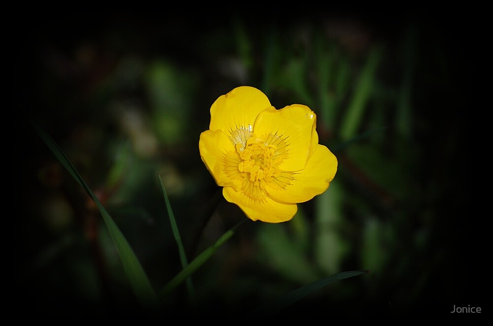 Yellow Buttercup  by Jonice