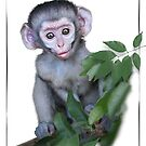 Vervet Monkey baby on white background by RonelBroderick