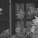 GoldenRod - Black and White by Tracey  Dryka