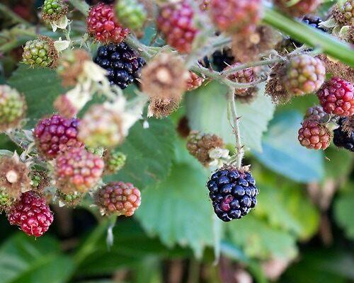 Blackberries - the sweetest thing by Rod Raglin