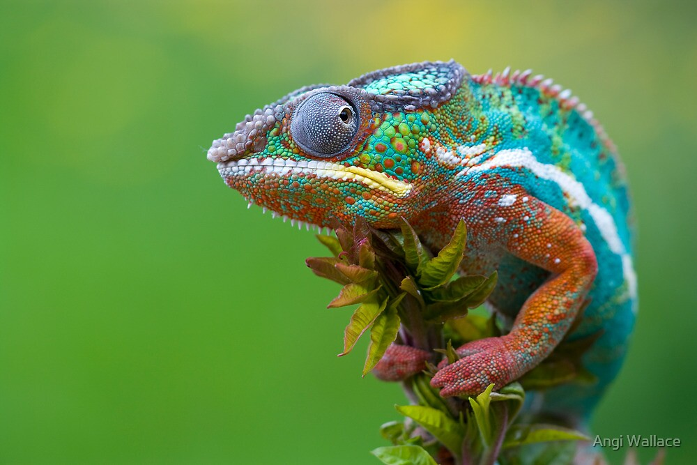 Panther chameleon outside by Angi Wallace