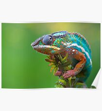 Panther chameleon outside Poster