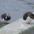 two turnstones at rest by monkeyferret