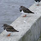 turnstones resting along the harbour by monkeyferret